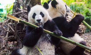 Calgary's beloved pandas finally heading home