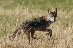 Coyotes found eating human food, could encourage aggressive behavior